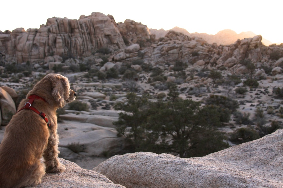 It was the perfect temperature after a great hike. Here Opie is enjoying the sunset at Hidden Valley - Joshua Tree